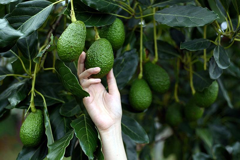 Olivado avocado picked